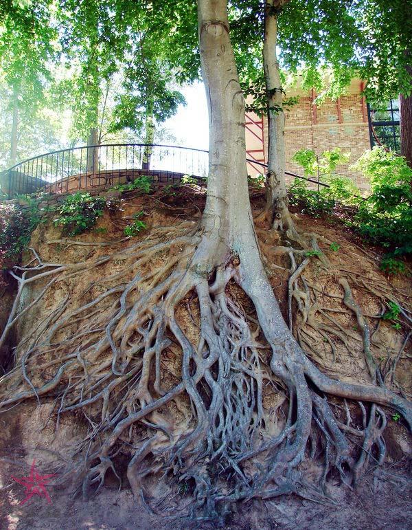 آیا ریشه درخت می تواند به فوندانسیون ساختمان آسیب بزند؟